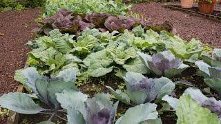 Meet the Brassica family- Broccoli, Cauliflower, Cabbage, Kale