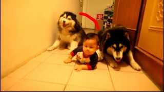 Two Dogs Imitate Baby Crawling