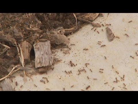 Αυστραλία: Η μεγάλη επίθεση των κόκκινων μυρμηγκιών