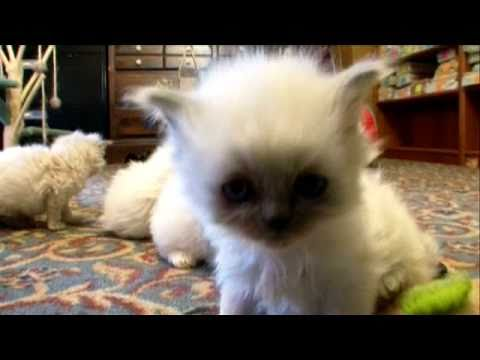 himalayan - Cat Health 101: http://animal.discovery.com/healthy-pets/cat-health-101/#mkcpgn=ytapl1 More Cats 101 Video: http://animal.discovery.com/videos/cat/#mkcpgn=yt...