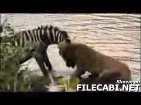 Zebra beats Lioness