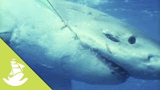 The great white shark has been wrongly classified as a human devourer, which leads to the excessive fishing of the species. Most shark attacks are not deadly for the human, since a lot of times victims are freed after just one bite. SUBSCRIBE and discover shocking scenes and the most amazing videos: http://goo.gl/fC5pjCFollow us in:Facebook: https://www.facebook.com/NewAtlantisD...Twitter: https://twitter.com/NewAtlantisDocu