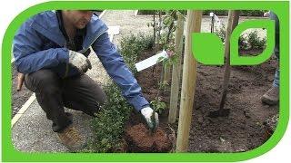 Ippenburger Gartentipps: Wie werden Malini Apfelsäulenbäumchen gepflanzt?