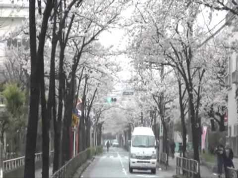 松上小学校横の桜(まつがみ しょうがっこう) 2013・3・27