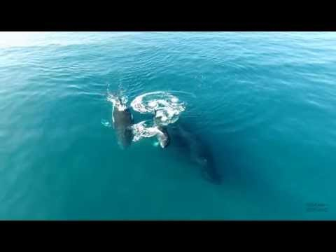 4k Drone Whale Footage Hawaii