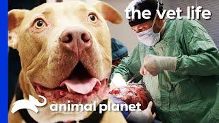 Vet Removes Enormous 16lb Tumor From Dog's Abdomen   The Vet Life by Animal Planet