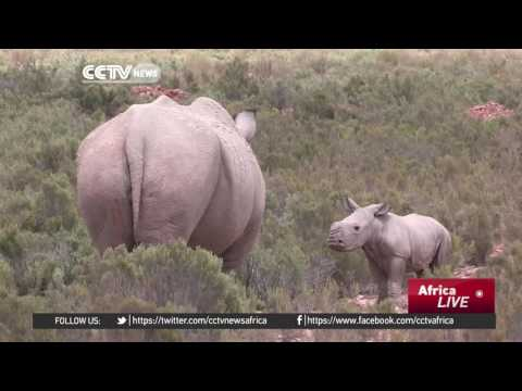 Plan to airlift 80 white rhinos to Australia elicits mixed reactions