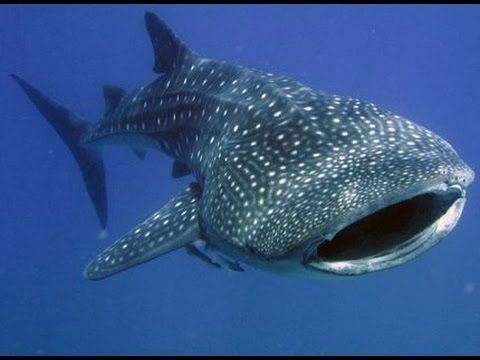 iSaw A3 Extreme HD First Ever Whale Shark footage by Freedom Divers, Phuket