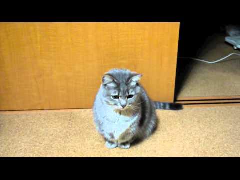 「[ネコ]『ごはん』をおねだりする声がかわいいデブ猫。」のイメージ