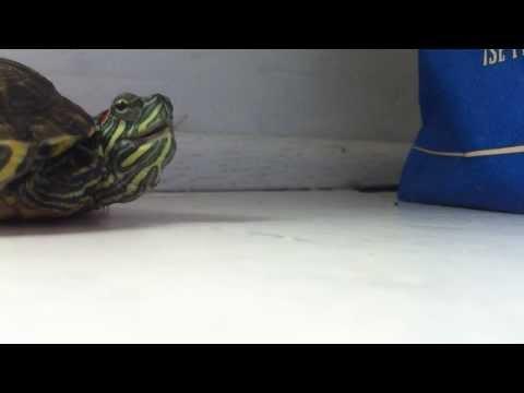 Oletko koskaan kuullut kun kilpikonna aivastaa? – Kuuntele!