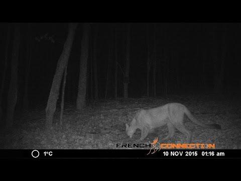 Images d'un cougar en Outaouais au Québec?