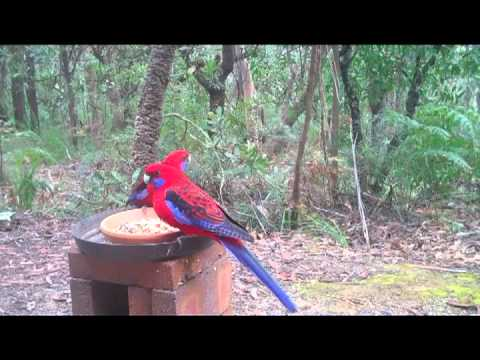 Crimson Rosellas at Banksia Cottage