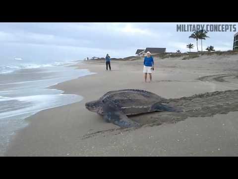 Massive Leatherback Sea Turtle on the Beach