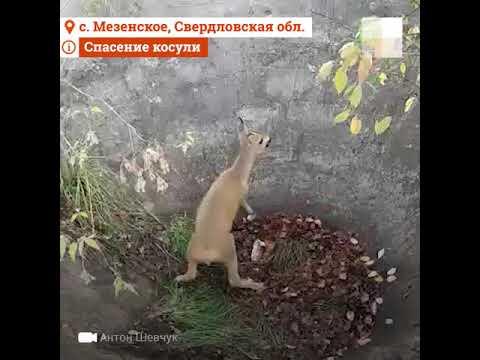 Кусок доброты.  Под Екатеринбургом дед спас  маленькую косулю