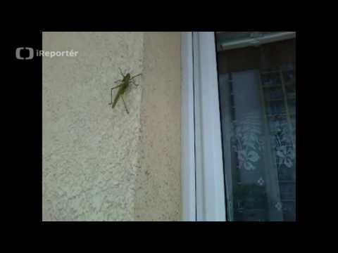 Velká kobylka