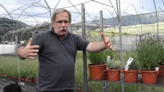 #452 Lavendel für bodendeckende Bepflanzung