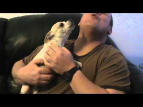 Chihuahua Talking