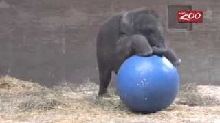 Baby Elephant Trying To Ride A Giant Ball - How Cute!