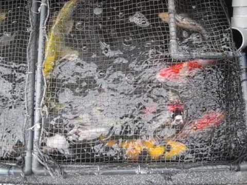 丹頂の充血 錦鯉