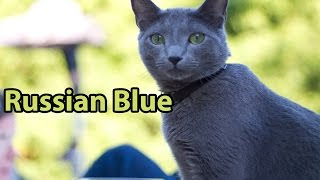 Ideal Companion: Russian Blue