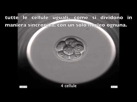 Video INSTITUT MARQUÈS - Sviluppo di un embrione di un topo visto con l'Embryoscope download in MP3, 3GP, MP4, WEBM, AVI, FLV January 2017
