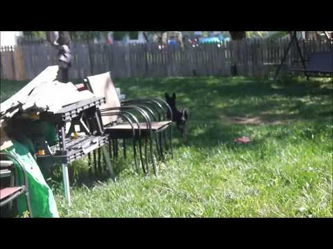Dog Running and Barking – (MinPin/Chihuahua) Luna