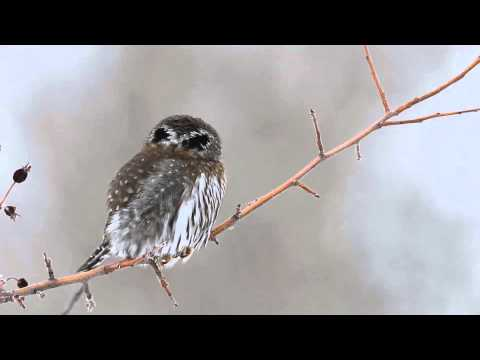 Pygmy Owl - Watch in HD (1080p HD) mode for best results. See a related article about how owls can turn their heads at http://www.npr.org/blogs/health/2013/01/31/1707587...