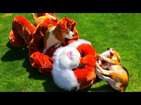 beagles get the best birthday present ever: a huge crazy bunny!