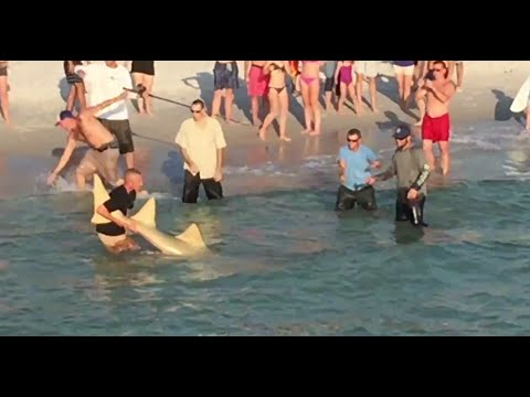 HUGE Sawfish Carpenter Shark Caught at Naples Pier!