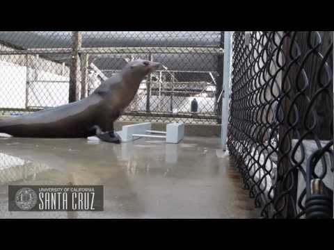 Ronan The Beat Keeping California Sea Lion