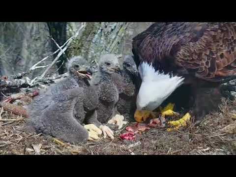 DECORAH EAGLES  🐣🐣🐣 DRAMA & HEARTBREAK ◕ EAGLE DAD MISSING ◕ MOM GOING IT ALONE ◕ INTRUDER ◕