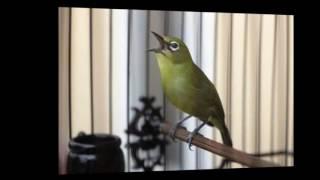 Masteran Burung Pleci Isian Kenari, Gereja Tarung, Cililin, Ciblek  Agar Pleci Ngerol dan Nembak