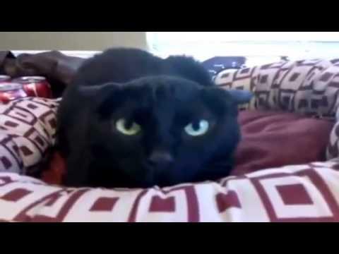 scene esilaranti di gatti.