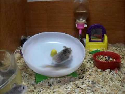 hamster - crazy hamsters playing on a running wheel^^ taken in a pet shop.