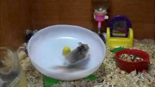 Crazy hamsters spinning on a wheel