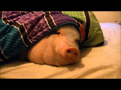 Sleeping Pig Wakes Up for a Cookie