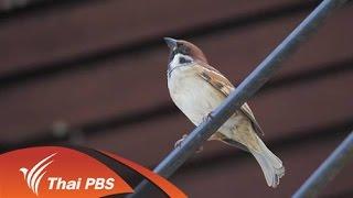 Nature Spy สายลับธรรมชาติ - นกกระจอกที่ไม่จอก