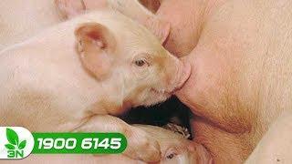 Chăn nuôi lợn | Thời điểm cai sữa cho lợn con thích hợp nhất