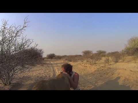 這男子當年哭著將小獅子野放以為緣分就到此為止,豈料多年後回訪「獅子還記得他給的愛」!
