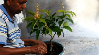 Video Mango tree grafting and bonsai (update) MP3, 3GP, MP4, WEBM, AVI, FLV Agustus 2018