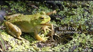 Video Bullfrogs hunting Dragonflies, Bullfrog eating a Frog, Katydid nymph and many others MP3, 3GP, MP4, WEBM, AVI, FLV Agustus 2019