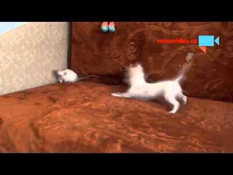 čivava a potkan