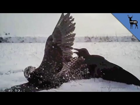 POV - Falcons are the fastest birds in the world, but are they be able to murder an entire murder of crows? Check out the original video from The Company of Biologists: https://www.youtube.com/watch?v=B...