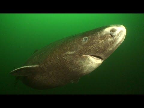 Greenland Sharks   JONATHAN BIRD'S BLUE WORLD