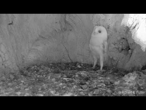 Детеныш совы в первый раз слышит гром