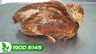 Chăn nuôi gà | Chữa bệnh Newcastle ghép nhiễm khuẩn kế phát cho gà