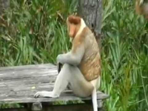 Video Proboscis Monkey Love in Borneo download in MP3, 3GP, MP4, WEBM, AVI, FLV January 2017