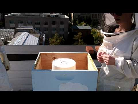 Urban Beekeeping: Drones Get the Boot! Inspection of Bucket Sugar Syrup Feeders!