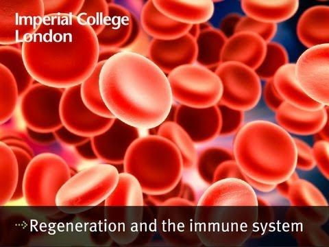 Regeneration und das Immunsystem