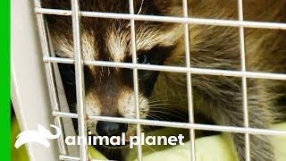 Two Baby Raccoons Need Urgent Care At A Rehab Facility | North Woods Law by Animal Planet